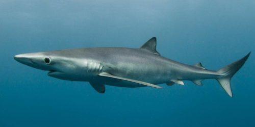Рисунок 9. Голубая акула