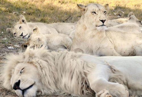 Рис. 10. Белый лев