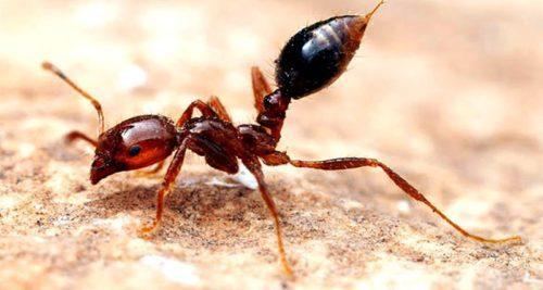 Рисунок 9. Красный огненный муравей
