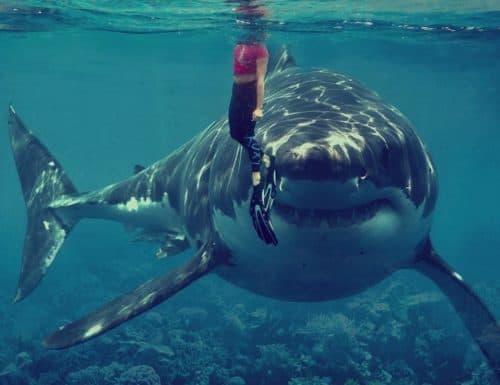 Рисунок 10. Тупорылая акула