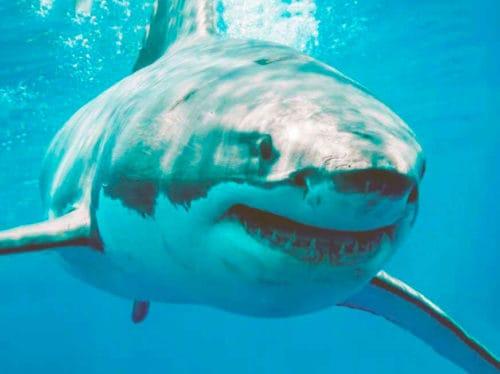 Рисунок 1. Большая белая акула