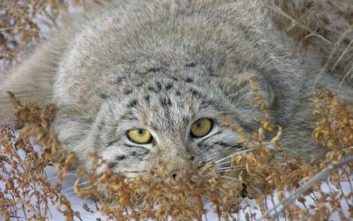 Кот манул - полное описание породы