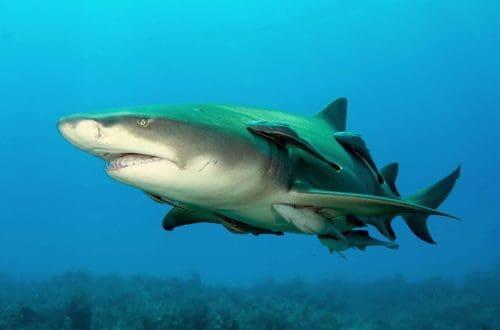 Рисунок 2. Лимонная акула