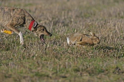 Рисунок 2. Охота на кролика.