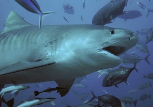Рисунок 3. Тигровая акула