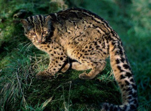 Рис. 3. Ириомотейская дикая кошка
