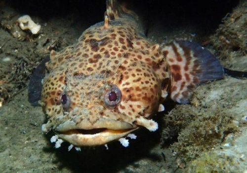 Рисунок 4. Рыба-жаба.