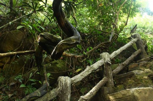 Рисунок 4. Фото реально существующего дерева-змеи, получившего свое название из-за причудливой формы ствола.
