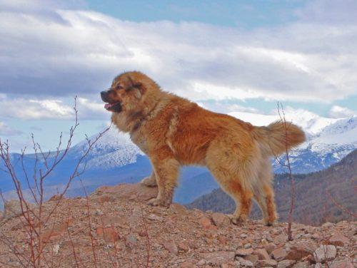 Рисунок 6. Кавказская овчарка