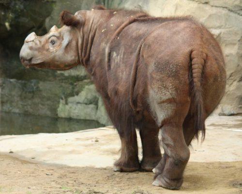 Рис. 6. Суматранский носорог