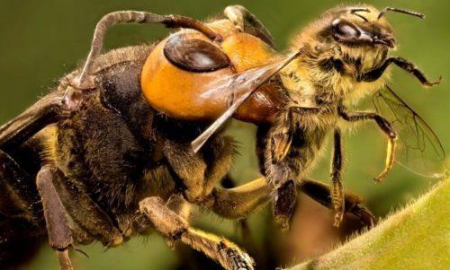 Рисунок 5. Африканизированная пчела-убийца