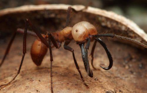 Рисунок 6. Армейский муравей