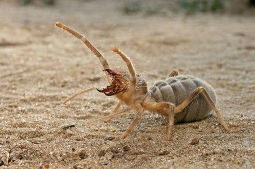 Рисунок 7. Самый громкий паук в мире