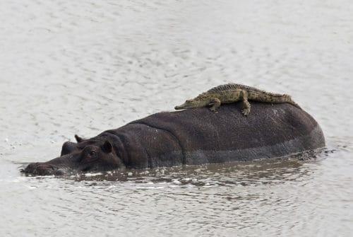 Рисунок 4. Зачастую бегемот объединяется со своим потенциальным врагом, крокодилом, для охраны территории от посягательств других животных.