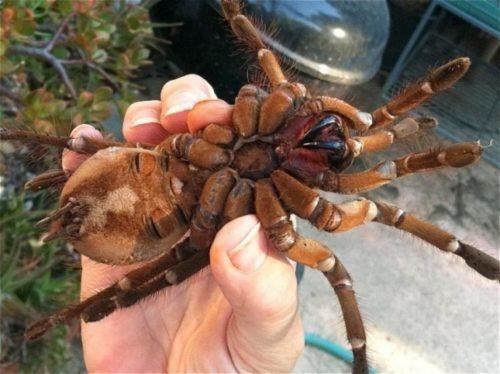 Рисунок 10. Самый большой паук в мире