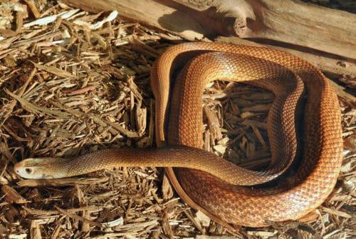 Рисунок 10. Самая ядовитая и агрессивная змея в мире